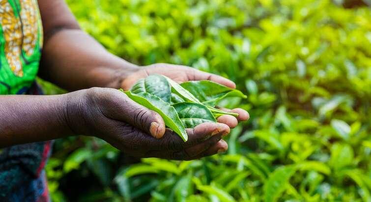 Grønne blade i en afrikansk kvindes hænder.