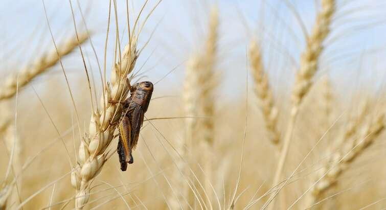 Foto af skadedyr på en kornmark
