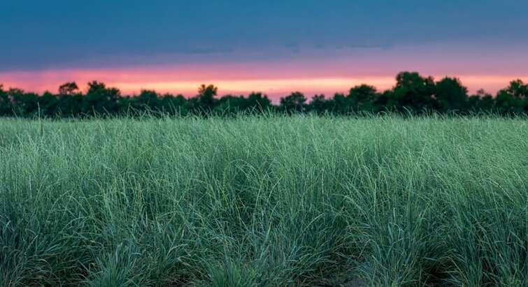 Billede af hvedegræs af Kernza/Landinstitute.org
