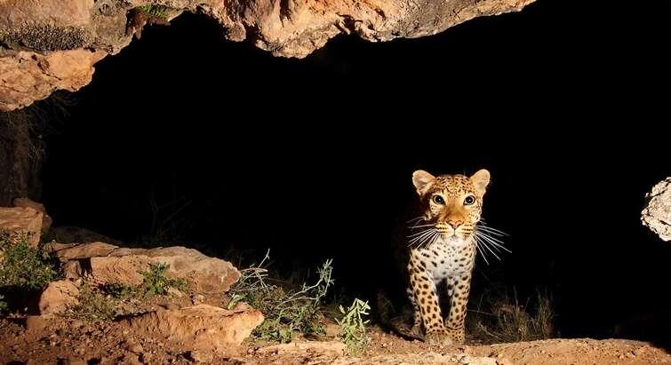 Foto af leopard