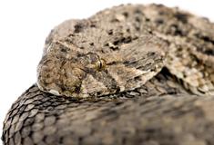 Forskerspire undersøger plantestoffer til behandling af slangebid