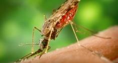 Malaria myg