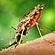Læs mere om: Malariamyggen forsvinder - og det er ikke kun godt