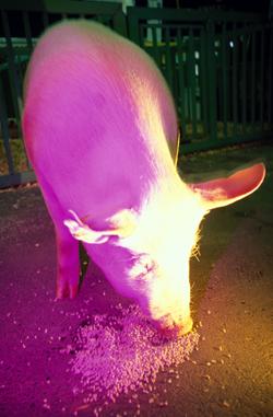 Dyrlæge og ph.d. Louise Kruse Jensen bruger svin som sygdomsmodeller for invaliderende betændelse i knoglerne.