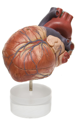 Aortic valve stenosis affects approx. 2-7 percent of the Danish population aged 65 years and over