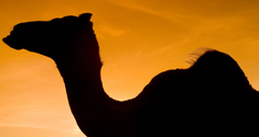 Camel blood can help fight against cancer