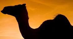 Viden om kamelens immunforsvar giver bedre lægemidler