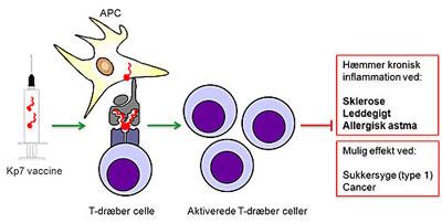 kp7-vaccinen forhindrer kronisk inflammation i sygdomsmodeller for sklerose, leddegigt og allergisk astma. En celletype kaldet antigen-præsenterende celler (APC) optager kp7 molekylerne og præsenterer dem via en sender til en modtager på T-dræber cellerne, som aktiveres og forhindrer kronisk inflammation I forskellige organer.